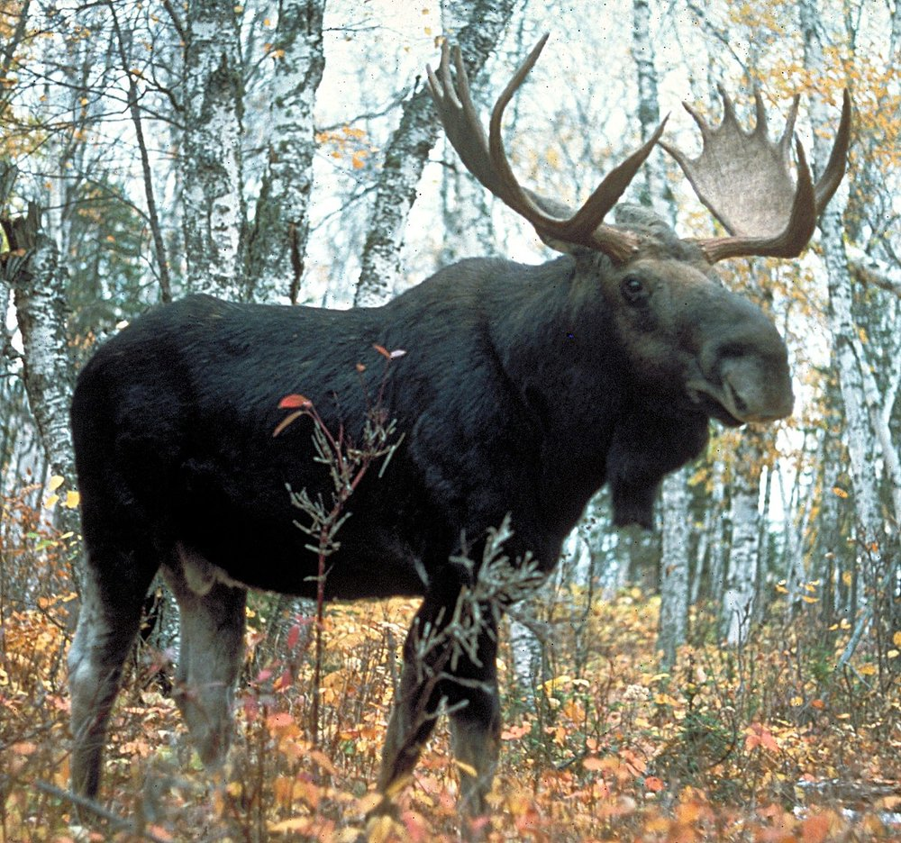1200px-Moose_superior.jpg