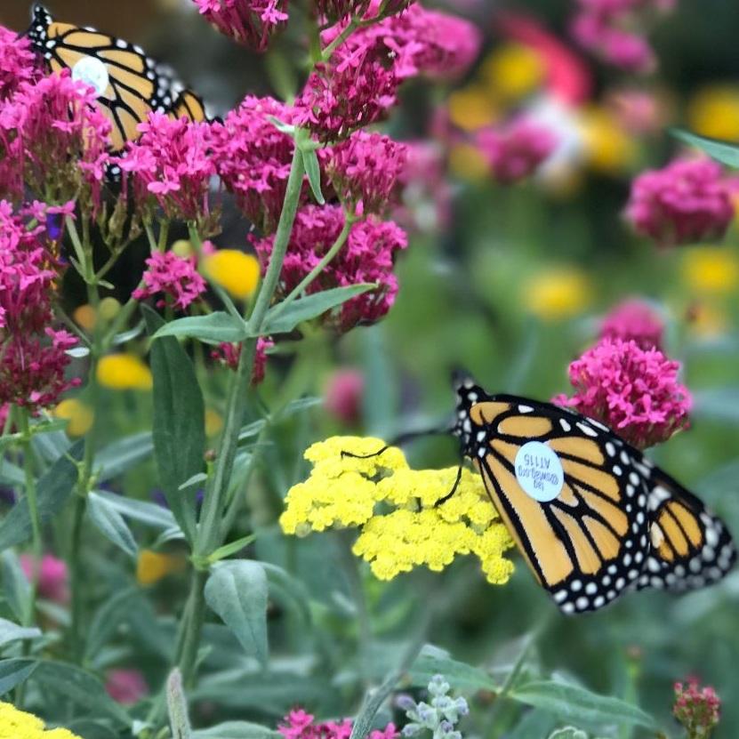 Monarch butterfly photo by Rachel Taylor