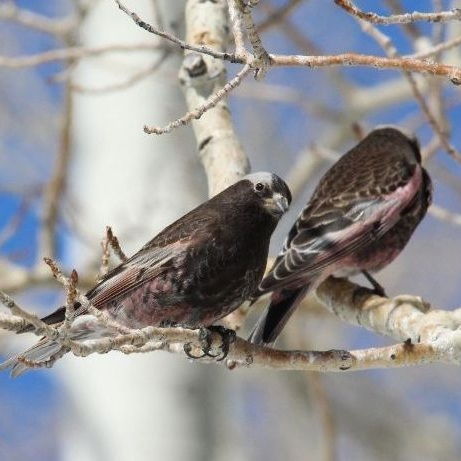 Black Rosy-finch photo by Janice Gardner
