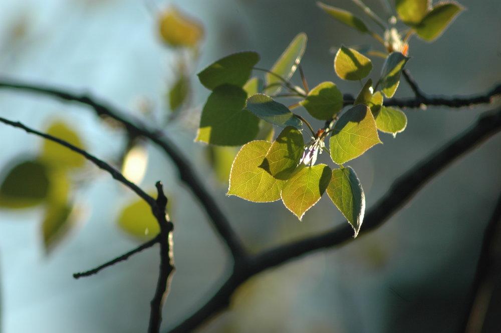 Turning Aspen Leaves (1).JPG