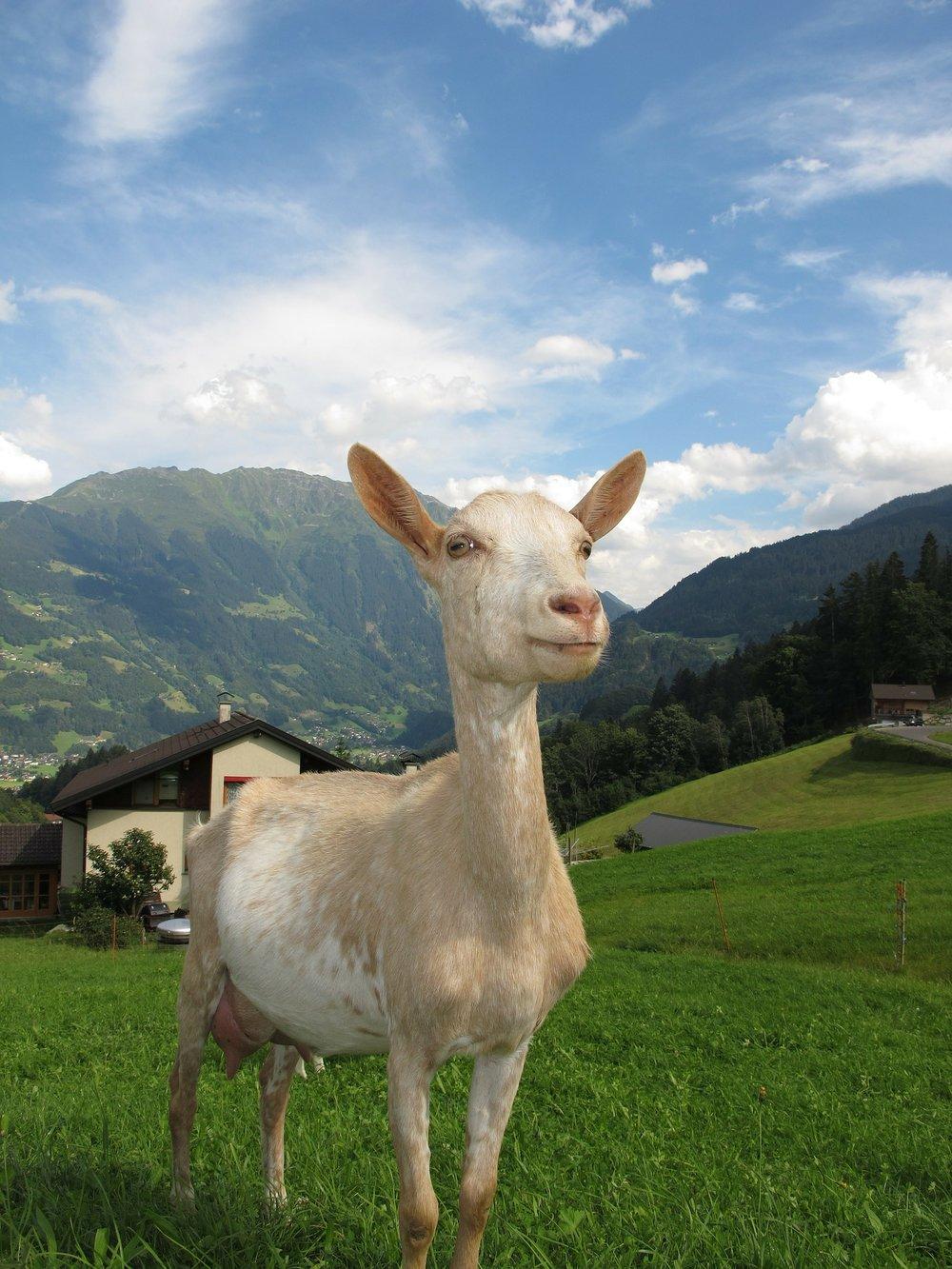 goat-in-austria-198455_1920.jpg