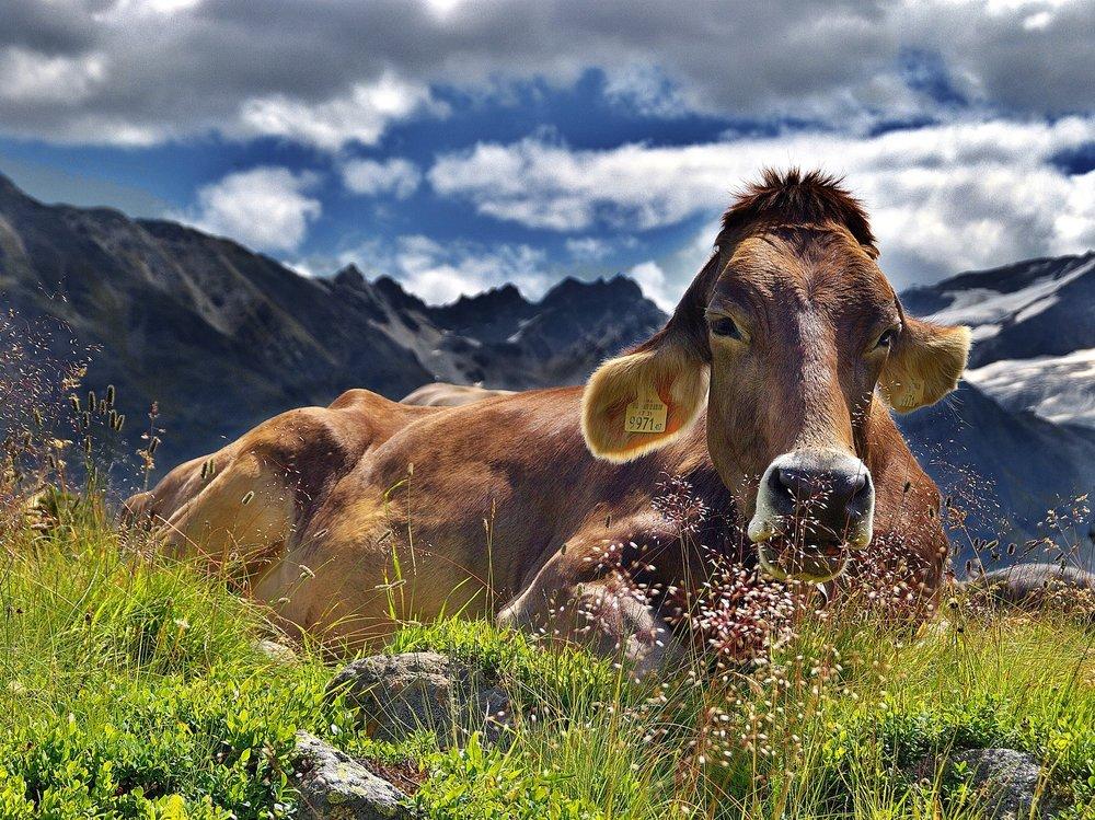 cow-1287866_1920.jpg