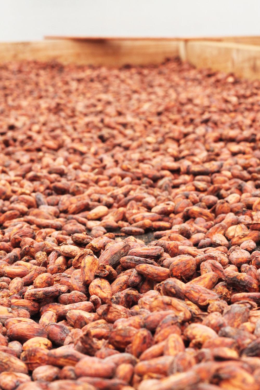 Cocoa Beans = CHOCOLATE