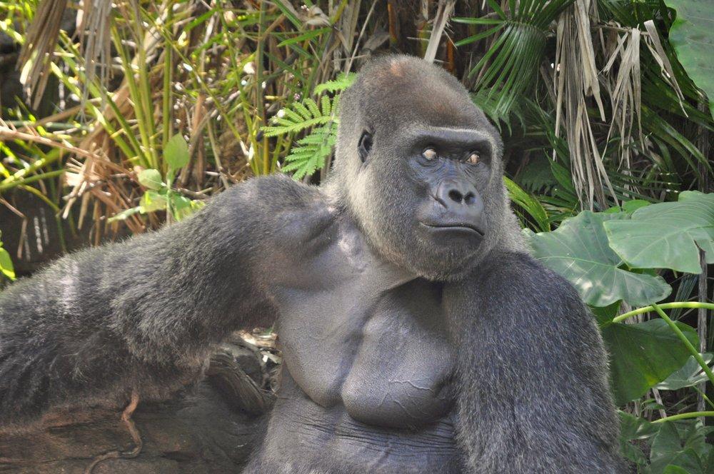 Gorilla 16.jpg
