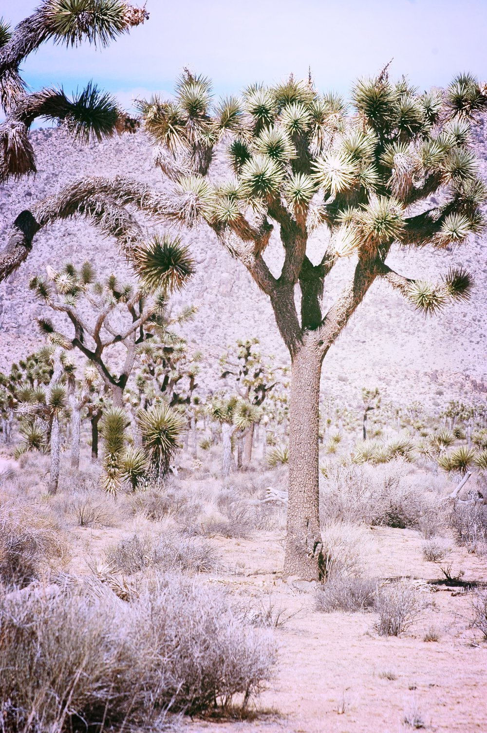 Joshua Tree Forest