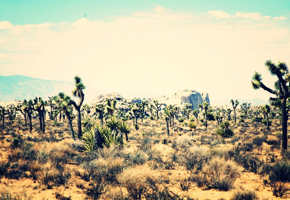 Joshua Trees With Jumbo Rock in the Background