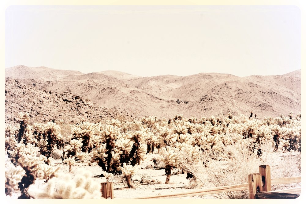 Cholla Gardens with Mountains