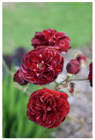 Red Damask Roses
