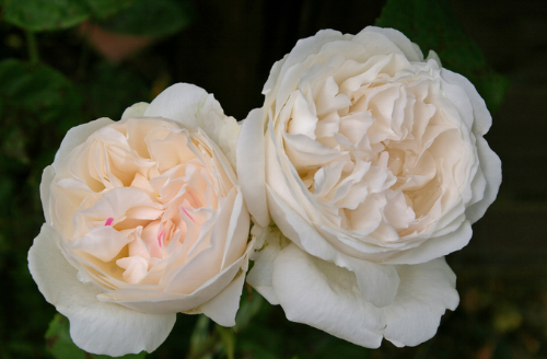 These Winchester Cathedral roses by David Austin have a soft musk smell, a cabbage shape and are full of petals.