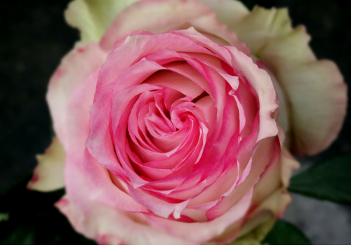 Here is the Eden rose, also known as Pierre de Ronsard rose. I love the soft color combination of this rose.