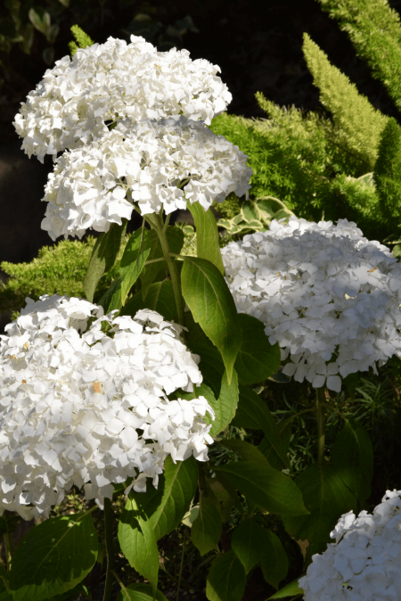 Here is one of my favorite Hydrangeas.  It is Annabelle and in the background a Foxtail fern.
