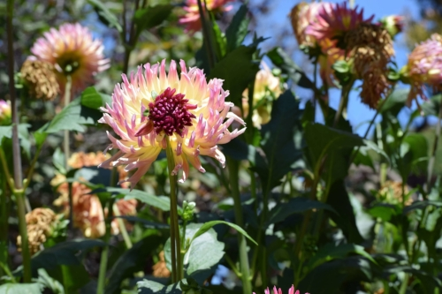Here are some of the Dahlia's you might add to your own garden.