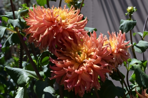 This Dahlia would be pretty in fall arrangements.
