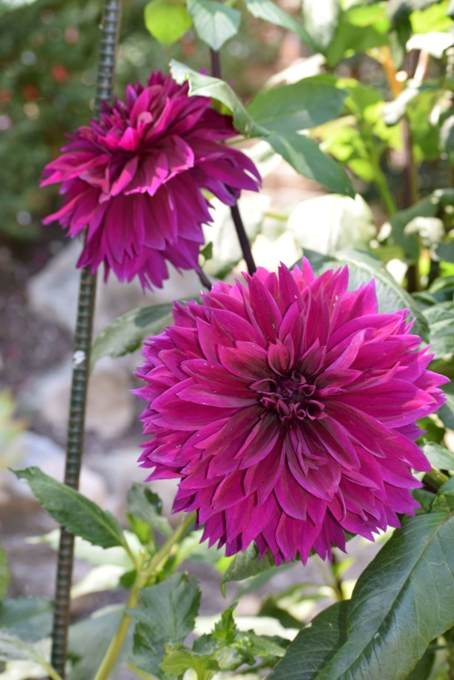 These bright pink Dahlias were some of the largest in size about 6 - 8 inches in diameter.