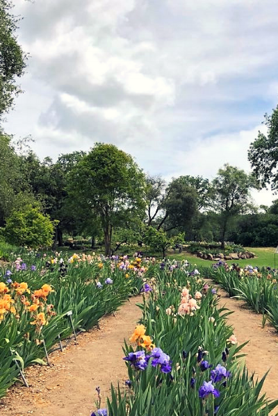 A view of the Iris flower rows at Horton Iris Garden.  Photo credit: Leha Nguyen
