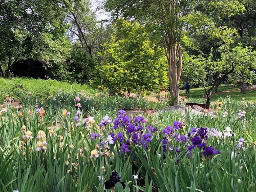 Another view of the Horton Iris Garden.  Photo credit: Leha Nguyen
