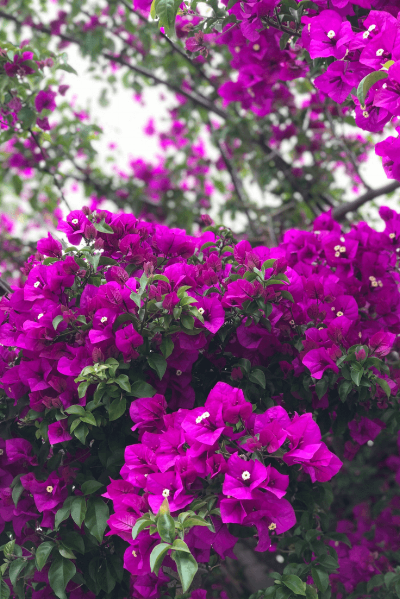 This magenta Bougainvillea captivated our attention.