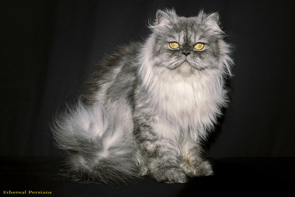 Available Kittens — Doll Face Persian Cats