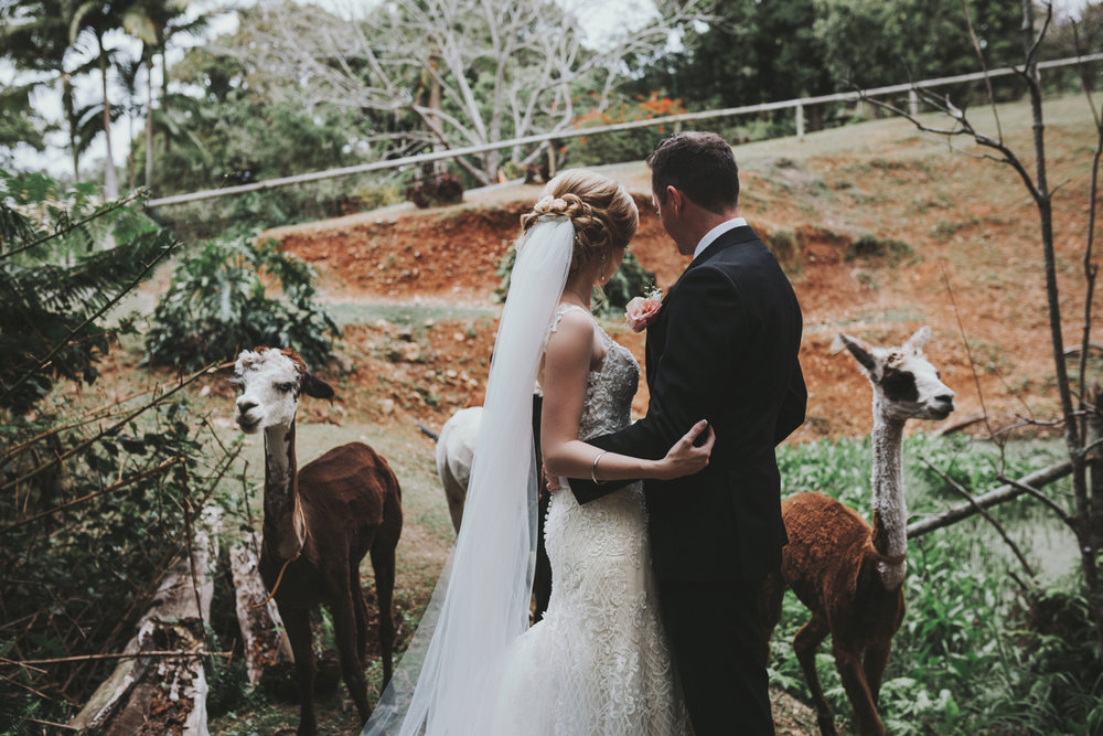 Bride and groom embrace while alpacas walk around them in mount cotton.