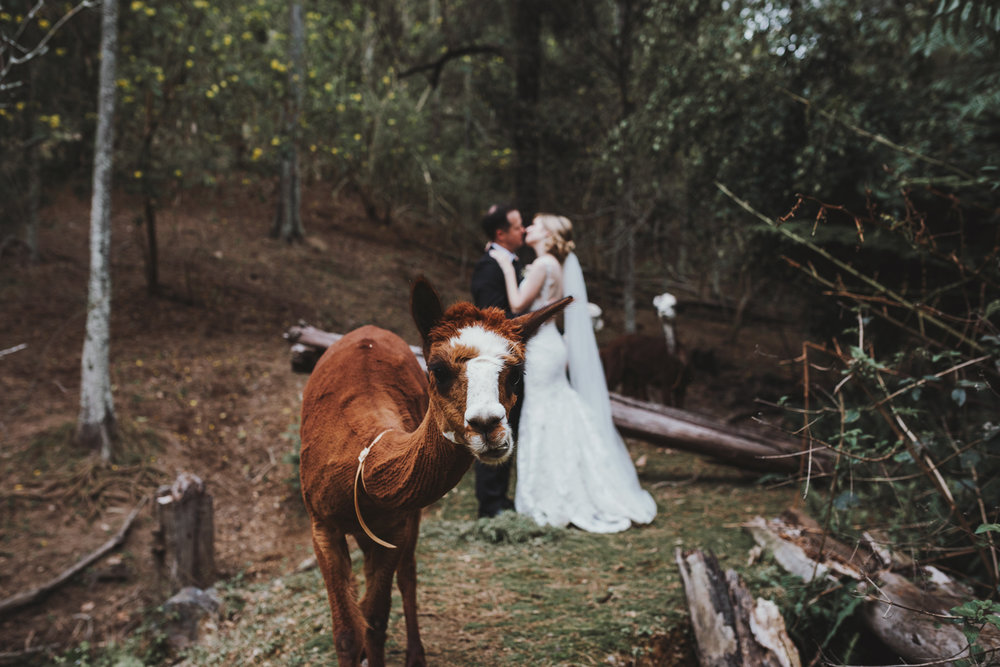 Alpaca photobombs bride and groom kissing in portrait.
