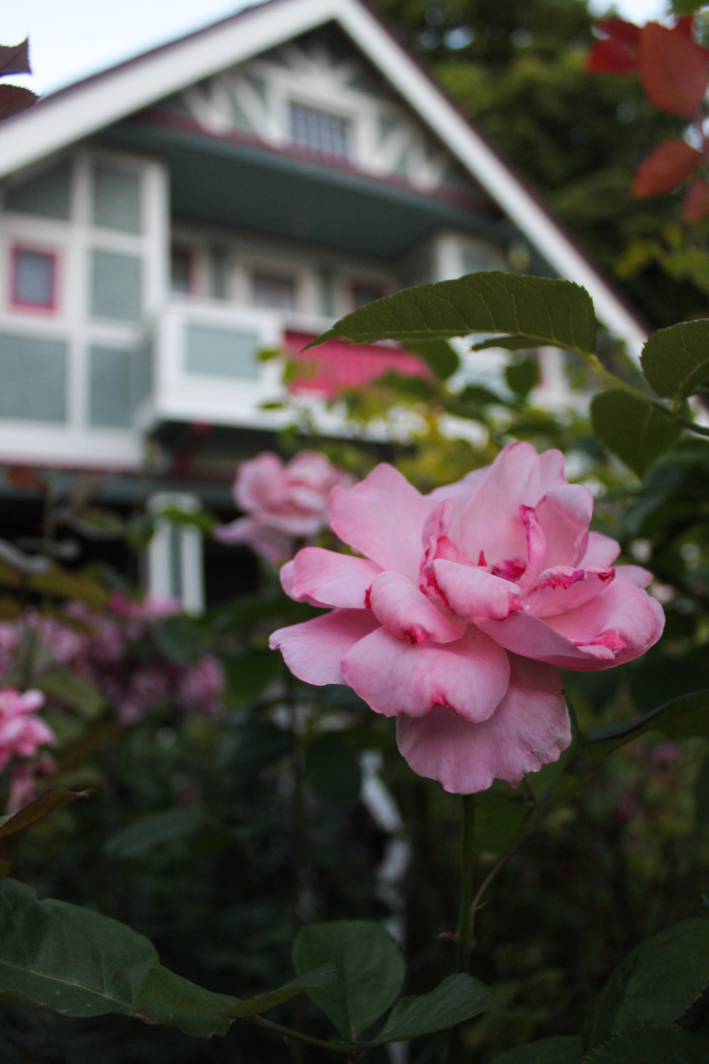One of Steve's roses with his home in the background.