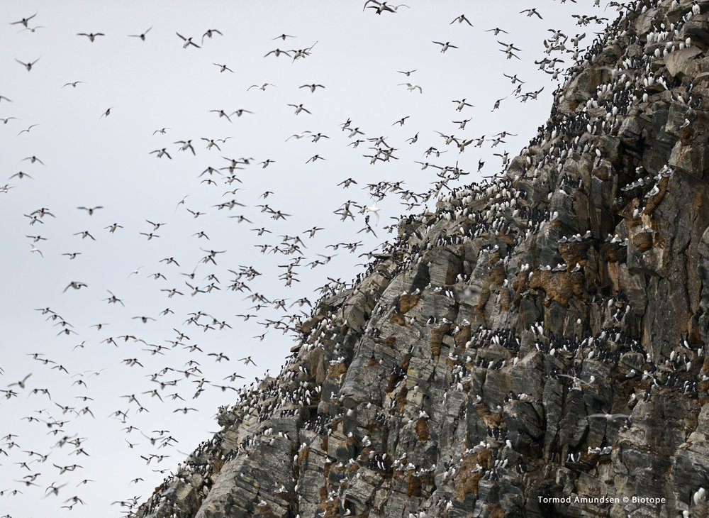 Hornøya bird cliff