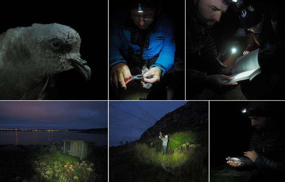 Leach's Petrel Hornøya Varanger copyright Biotope