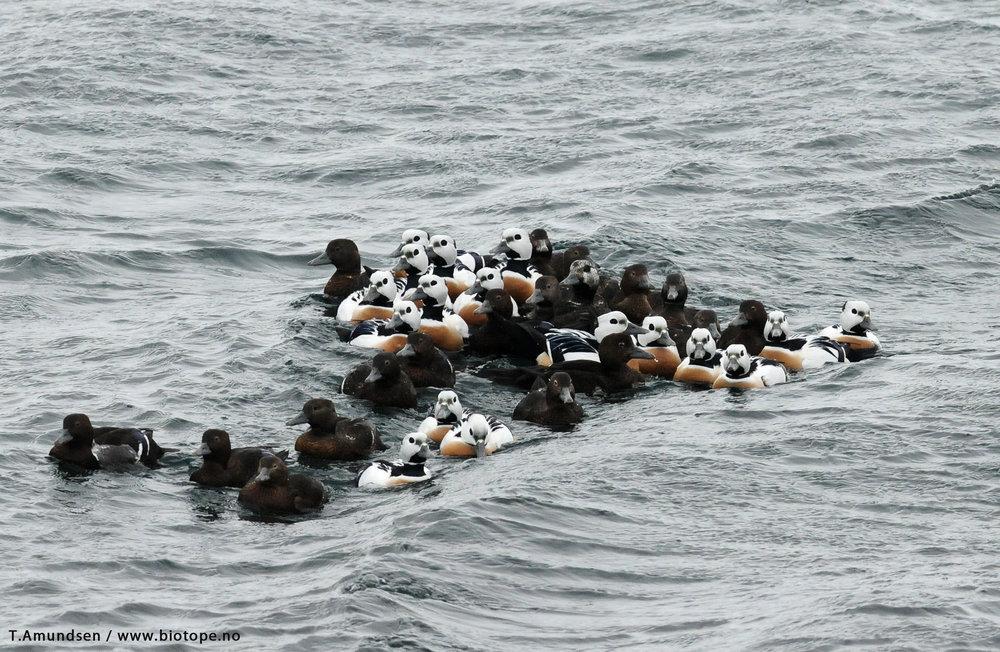 Flock of Steller's Eiders