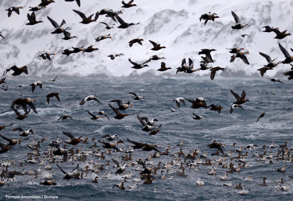 Flock of King Eiders
