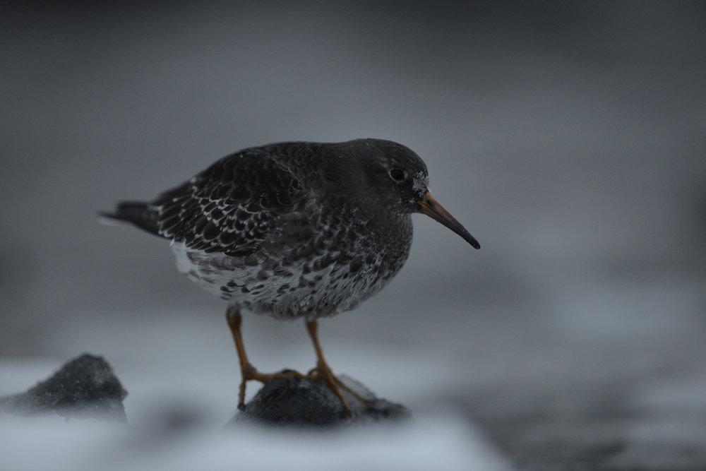 Meerstrandläufer sind eine der wenigen Vögel, die in Varanger überwintern