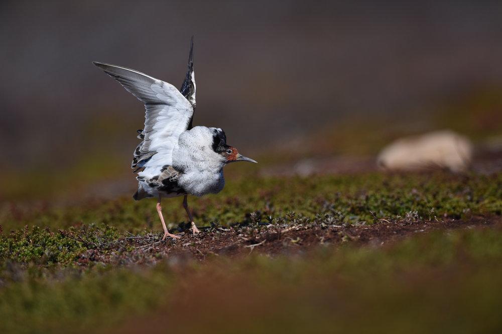 Balzende Kapfläufer - ein Spektakel der sommerlichen Tundra