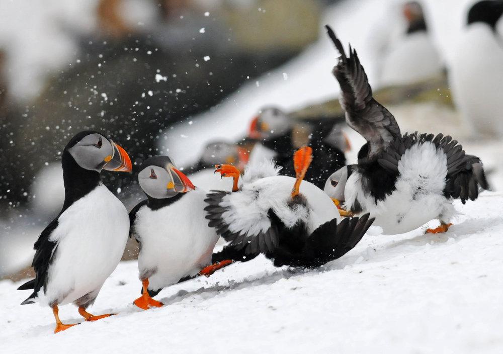 Papageitaucher auf Hornøya im Frühling beim Streit um beliebte Nistplätze