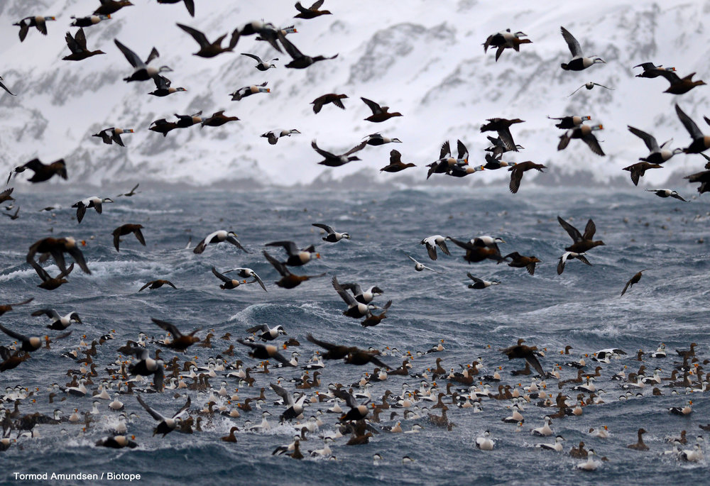 The King Eider Vortex - a section of the thousands of wintering eiders in Vardø´s Bussesundet. Usually present from early February to late March, sometimes into April.