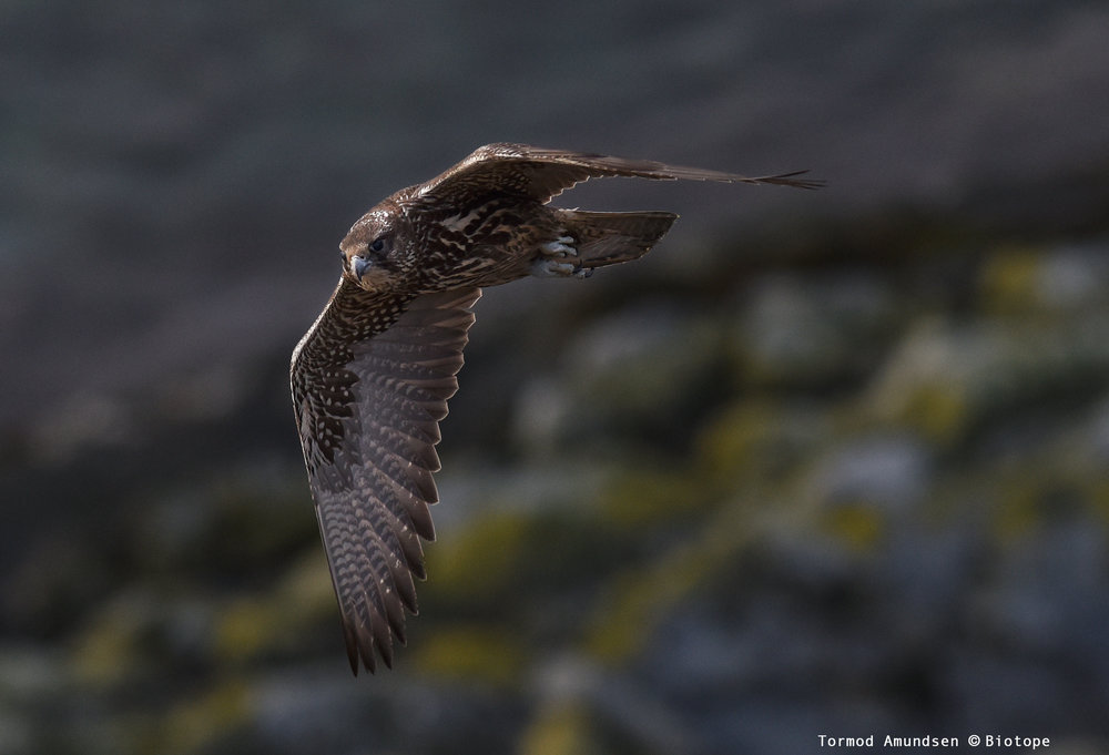 The best way to see Gyrfalcon in Varanger is by spending time at the bird cliff on Hornøya. They hunt there regularly, even daily. This is a young Gyrfalcon photographed on the bird cliff.