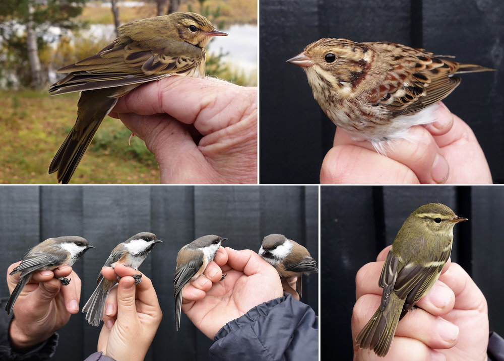 Øvre Pasvik bird ringing project september 2016 DSC09807.jpg