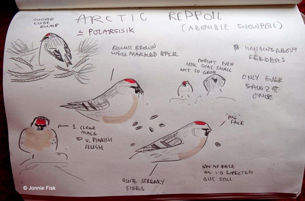 Arctic Redpoll by Jonnie Fisk Gullfest march 2014.jpg