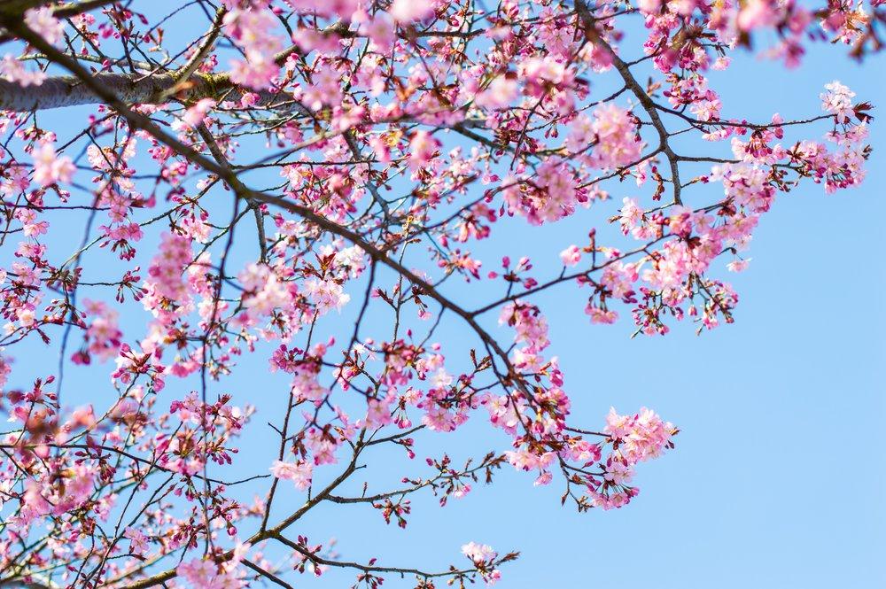Sakura Season -