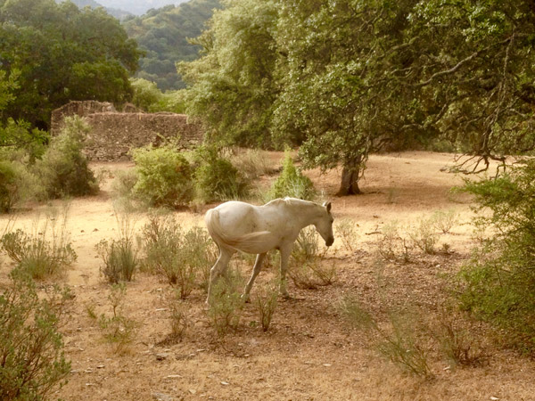 Wild Spanish horse in oak forest at luxury villa rental near Ronda, Andalucia, Spain