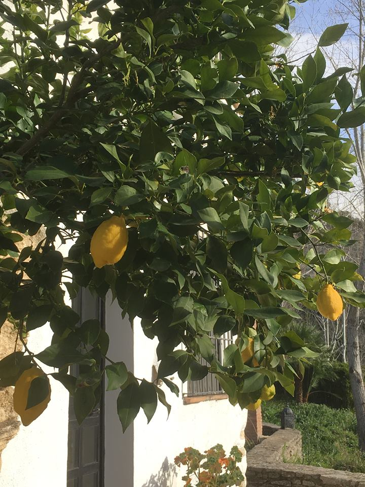 Citrus fruits in Spring at our luxury villa rental in Ronda, Andalucia, Spain