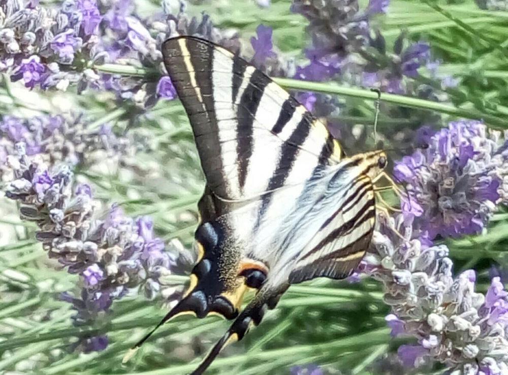 02-la-cazalla-butterfly.jpeg