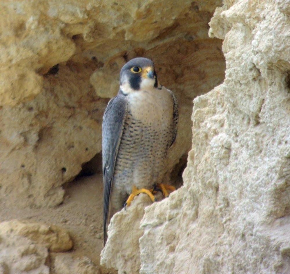 Peregrine Falcon by José Antonio Haro & Antonio Macías
