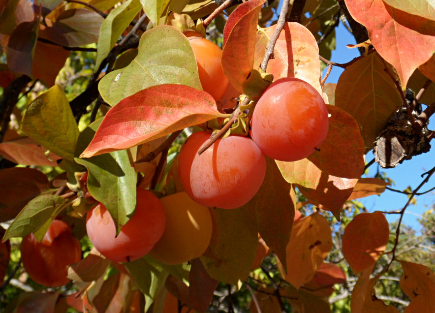 Persimmons_for_picking_straight_from_the_trees_at_luxury_villa_rental_La_Cazalla_in_Ronda_Spain