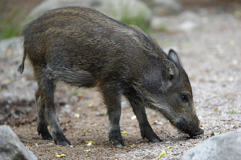 wild_boar_at_luxury_villa_rental_ronda_andalucia_spain