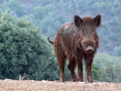 wild_boar_at_luxury_villa_rental_ronda_andalusia_spain