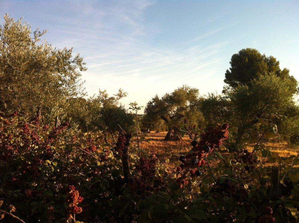 blackberries_ripening_luxury_villa_la_cazalla_de_ronda_andalusia_spain