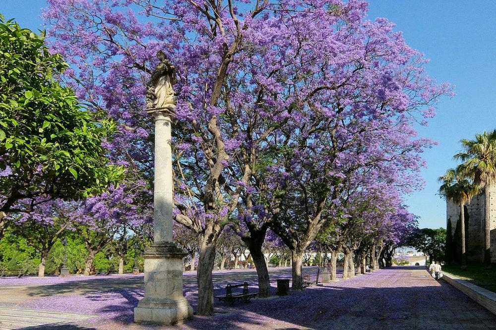 jacaranda_trees_jerez.jpg