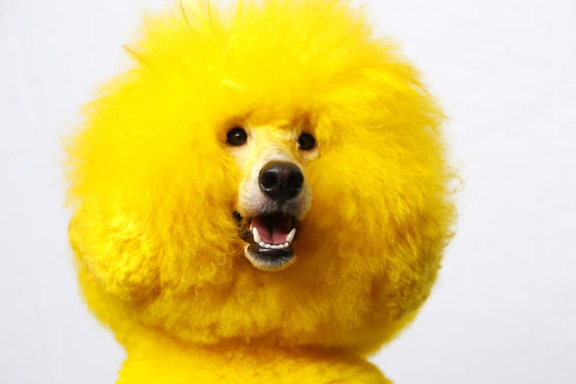 poodle-dog.jpg