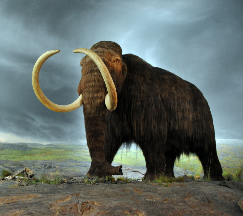 Figure 1: A display model of the Woolly Mammoth that was on display in the Royal British Columbia Museum in Victoria (Canada). The display is from 1979, and the fur is musk ox hair..By Flying Puffin (Mammut Uploaded by FunkMonk) [CC BY-SA 2.0 (http://creativecommons.org/licenses/by-sa/2.0)], via Wikimedia Commons.