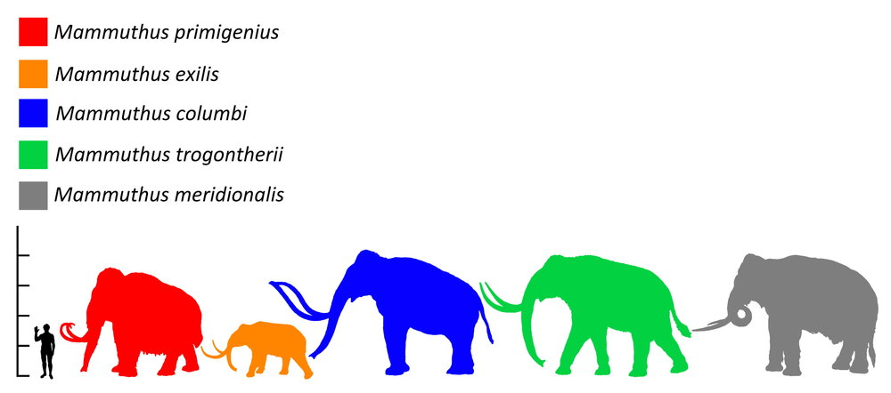 Figure 4: A cartoon that compares the size of the Woolly Mammoth (red) with humans and other extinct elephant-like animals. Size comparison of mammoth species. Mammuthus primigenius (Woolly Mammoth, extinct, 3.4 m), Mammuthus exilis (Pygmy mammoth or Channel Islands mammoth, extinct, 1.8 m), Mammuthus columbi  (Columbian mammoth, extinct), Mammuthus  trogontherii (Steppe Mammoth, extinct) , and  Mammuthus meridionalis (extinct: 4 m). Image from:Sergiodlarosa [Public domain, GFDL (http://www.gnu.org/copyleft/fdl.html), CC-BY-SA-3.0 (http://creativecommons.org/licenses/by-sa/3.0/), FAL, GFDL (http://www.gnu.org/copyleft/fdl.html) or CC BY 3.0 (http://creativecommons.org/licenses/by/3.0)], via Wikimedia Commons