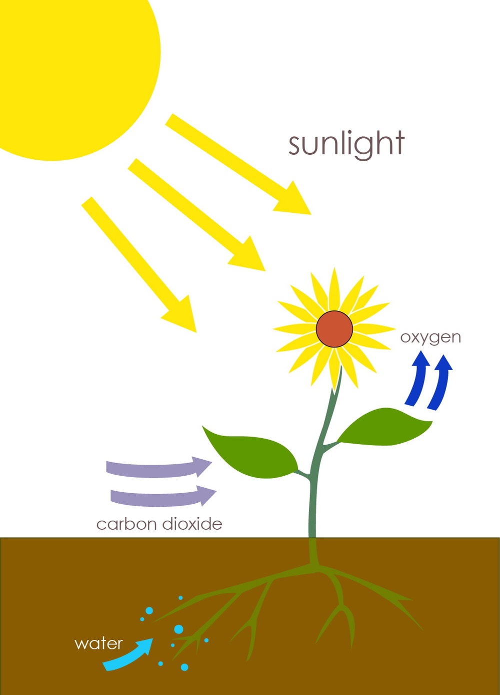 "Figure 7: This cartoon illustrates the process of photosynthesis in plants. The plants ""eats"" Sunlight, carbon dioxide and water and produces sugars and carbohydrates produced are stored in, or used by, the plant and free oxygen as a waste product. Image from Wikipedia."